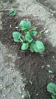 ジャガイモの新芽.jpg