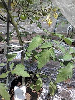 トマトプチトマト110524.jpg